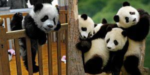 Подборка снимков самых милых животных планеты: чудо-панды